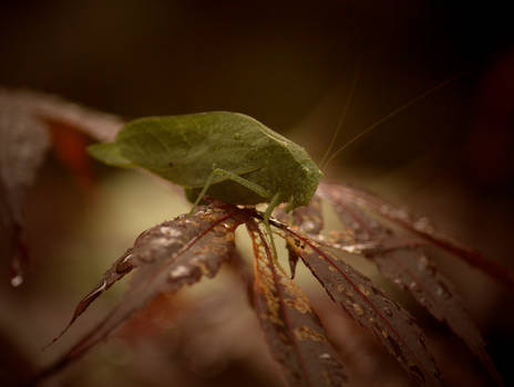 Greater AngleWing Katydid August - 2014 - 26 - 2