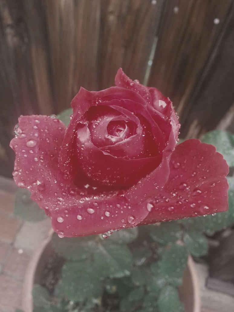 the rose isn't afraid of the rain by bloody-magpies
