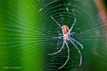 Spider by dazaime