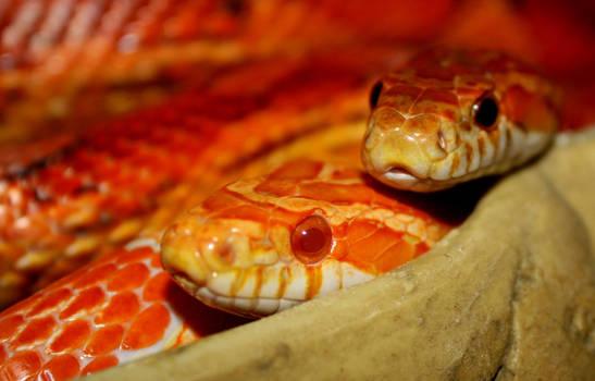 Snakes together