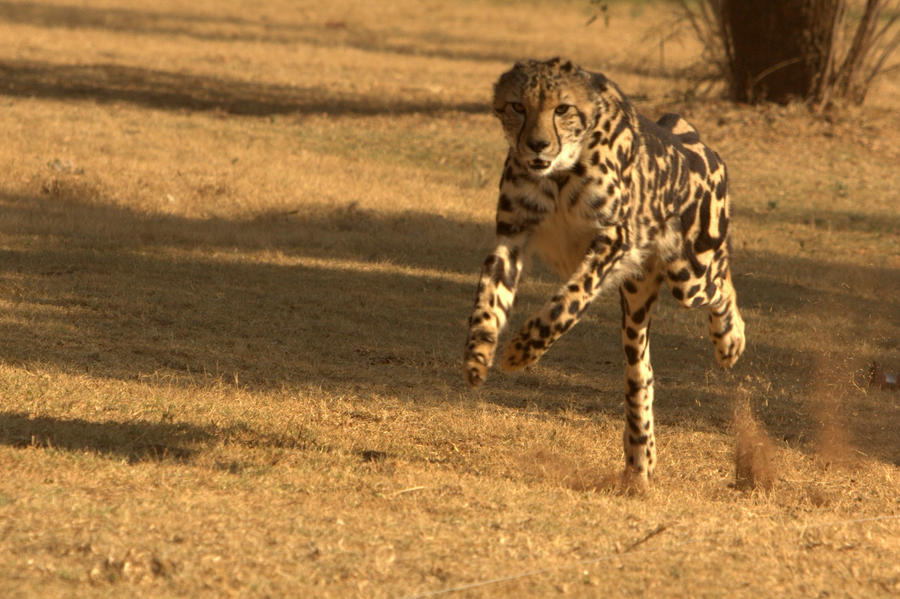 King Cheetah on the run by cathy001