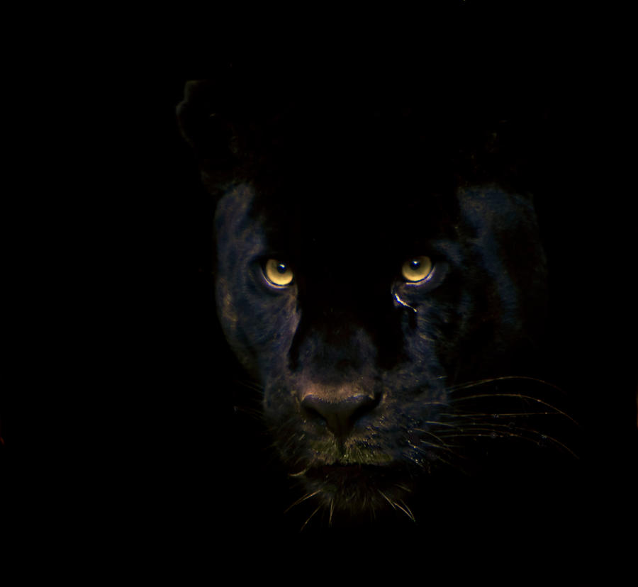 Black Jaguar By Cathy001 On DeviantArt