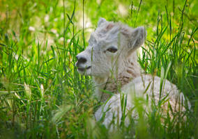 Little Dall Sheep by cathy001