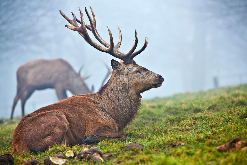 Deer Resting in Fog by cathy001