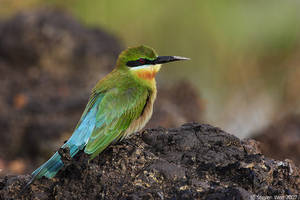 Basking Bee Eater by garion