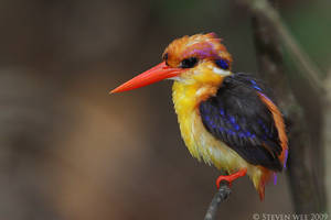 Black-backed Kingfisher 02 by garion