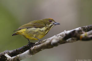 Yellow-breasted Flowerpecker by garion