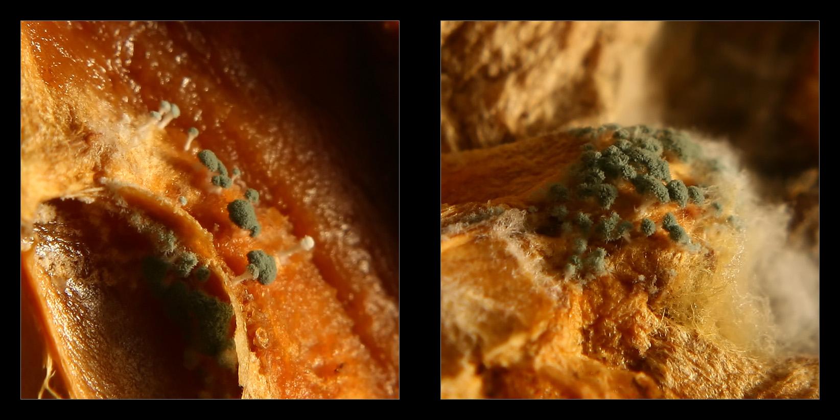 Penicillium sp. by pleautaud