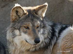 The Great Timber Wolf