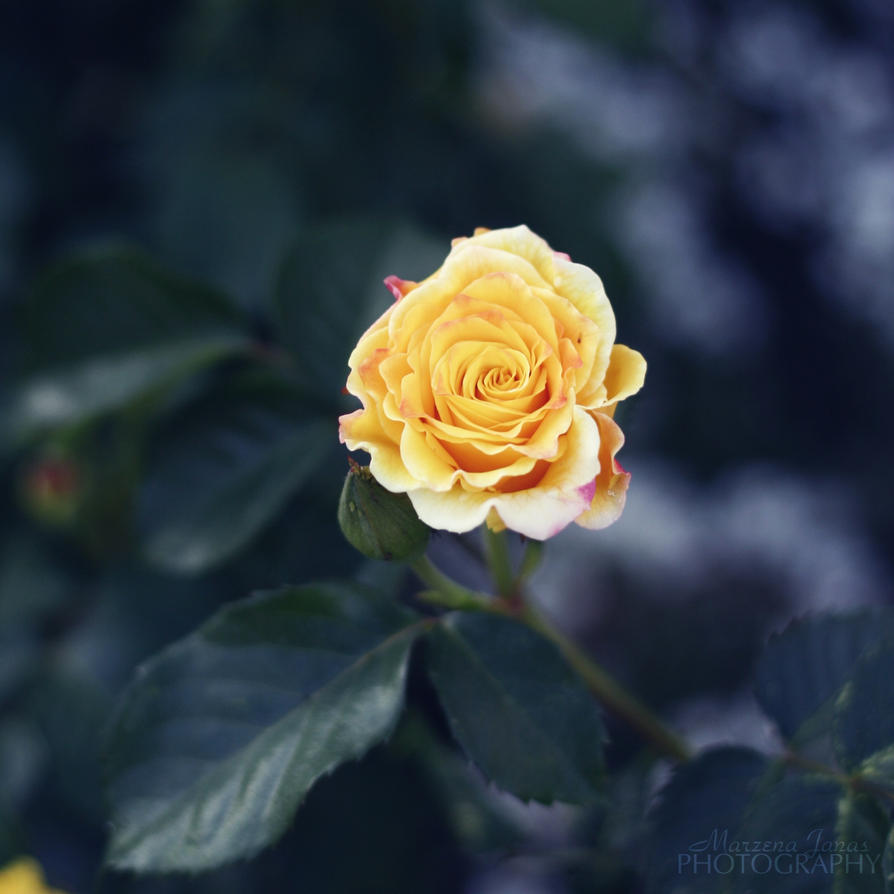 yellow rose. by mrzn89