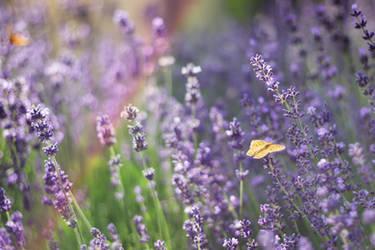 lavender 2.