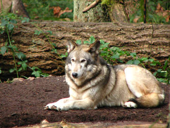Wolf in repose by gregonometry