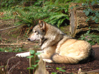 Another Wolf Pic by gregonometry