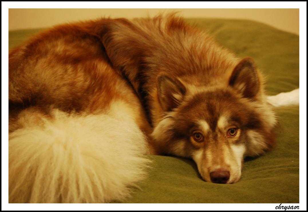 my siberian husky 2 by chrysaor