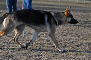 German Shepherd Stock 1 by CanuckZD