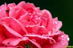 Droplets on Rose Petals