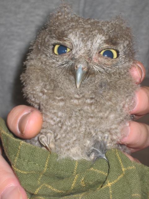 Baby Western Screech Owl by 21Momo21