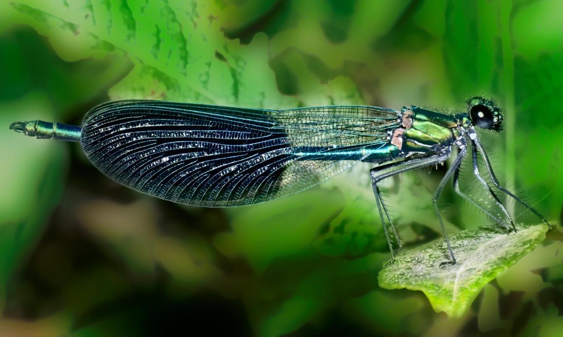 Odonata by bulgphoto