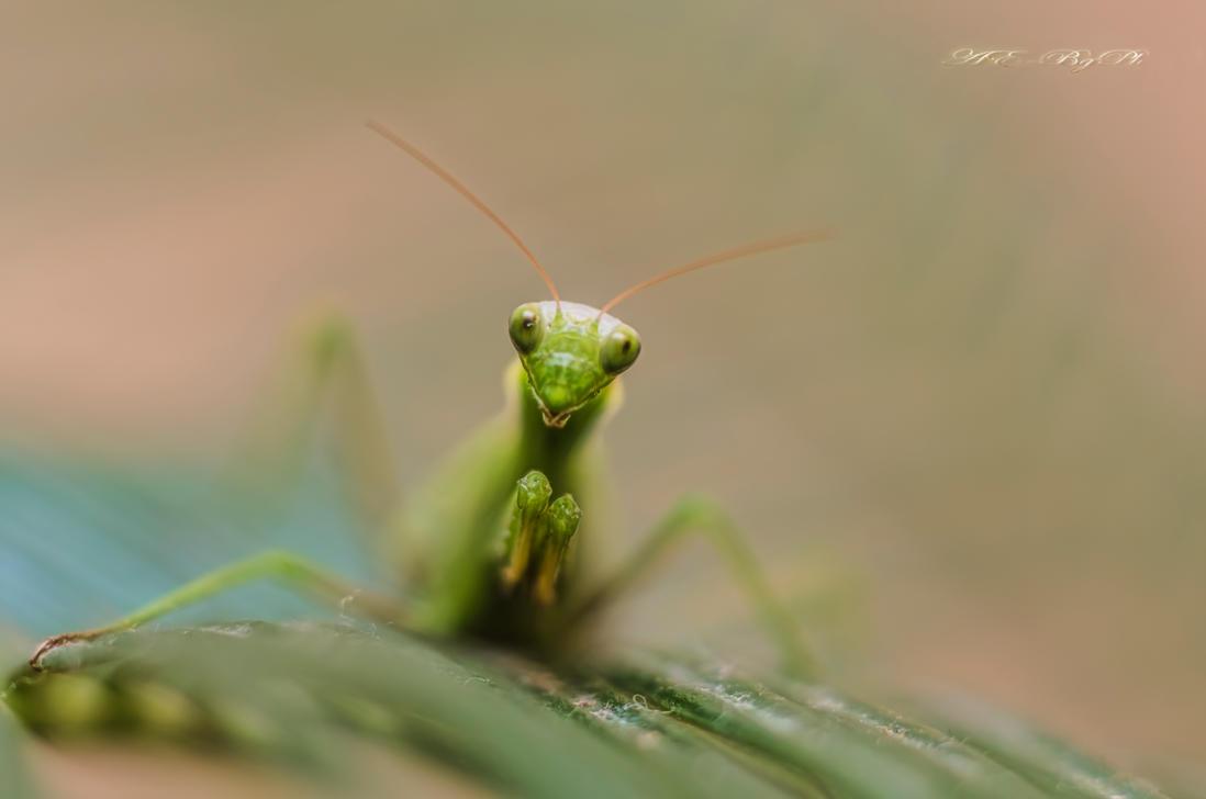 Mantis religiosa 1 by bulgphoto