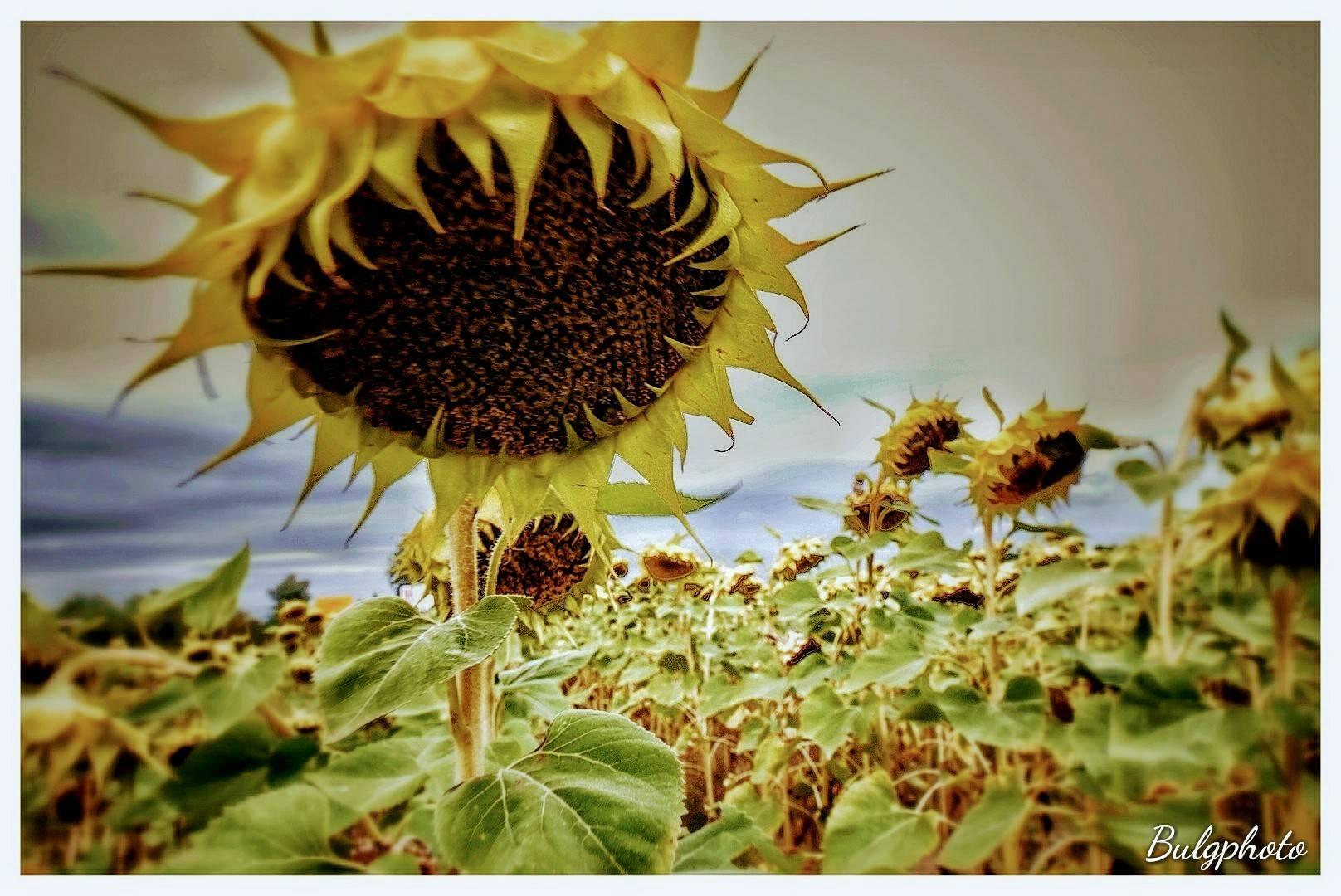Sunflower by bulgphoto