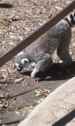 lemur by MediaFan658