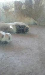 lions paw by MediaFan658