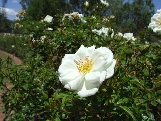 White rose by Prince-Syl