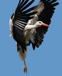 White stork landing by bianco-c