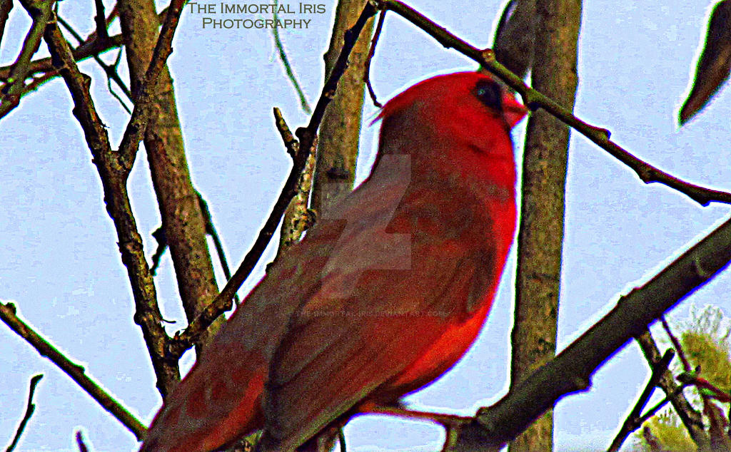 Cardinal by The-Immortal-Iris
