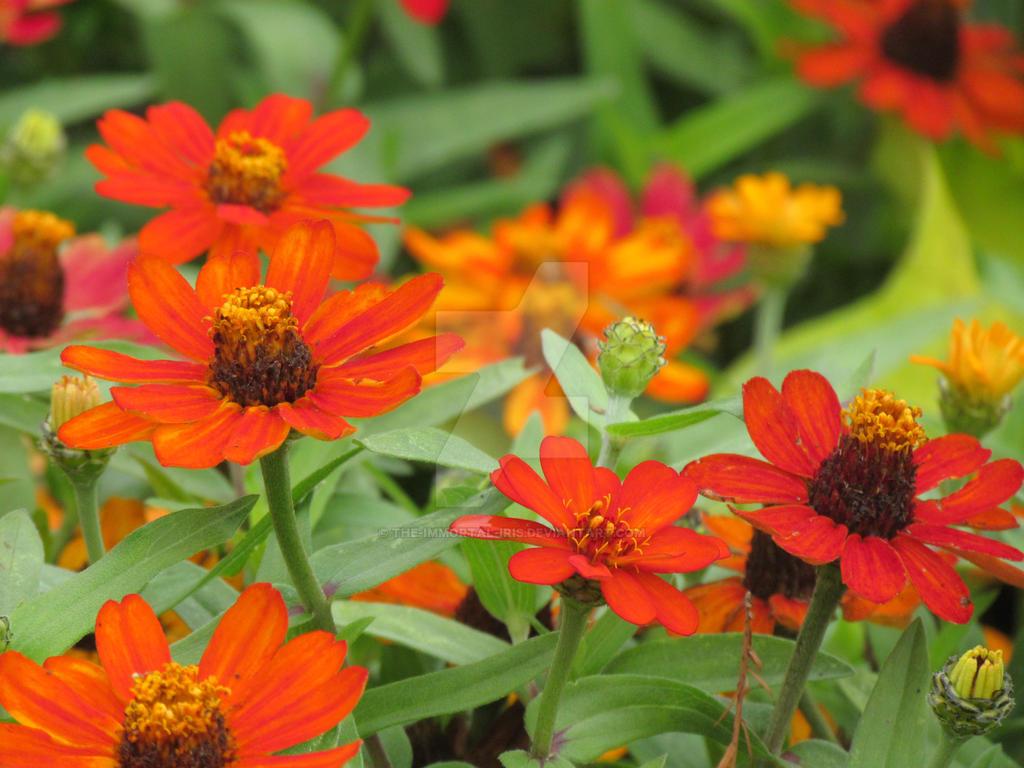 Orange Flowers by The-Immortal-Iris