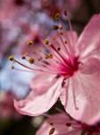 Spring Cherry Blossom 3
