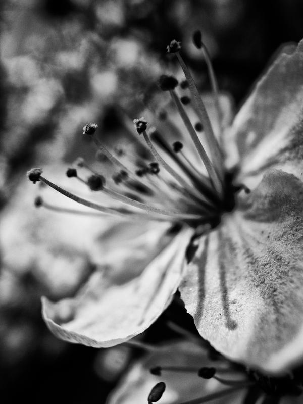 Black And White Cherry Blossom By Strikethecamera