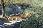 Mexican Wolf 2