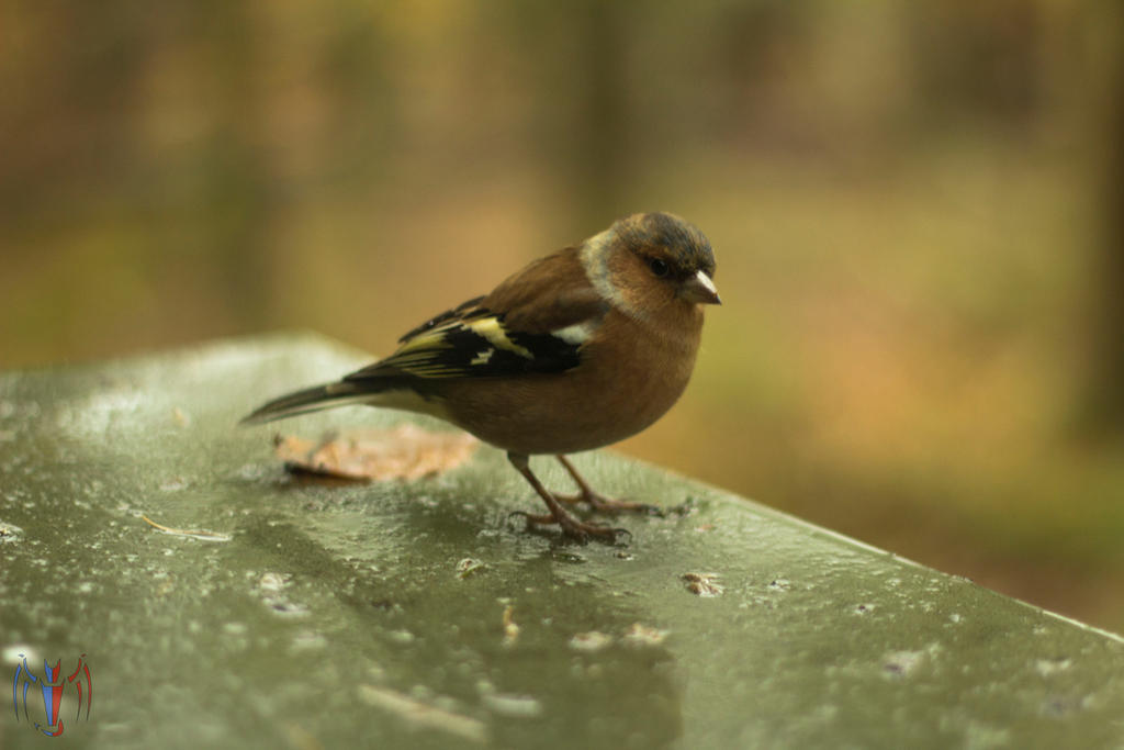 Chaffinch by Salamander-Flame