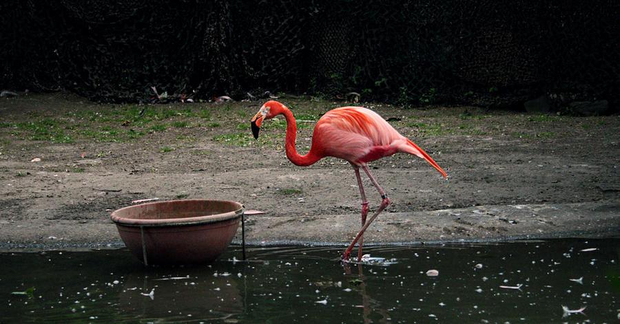 Wild Animal Flamingo Brussels Zoo wallpaper