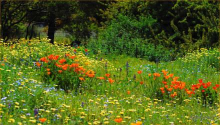 Wild flower field in Descanso