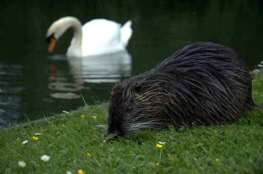 Nutria and the Swan