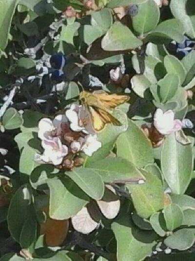 Tiny Skipper Butterfly. by blackdemon111