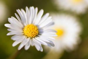 Daisy by MalinQuist