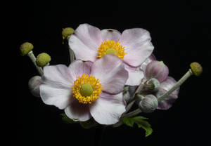 anemone hupehensis by patrickbrandy