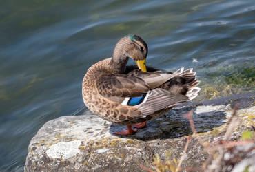 mallard ducks (female) by patrickbrandy