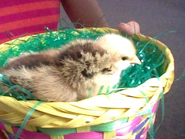 Baby Chicks! by MermaidloverTyler