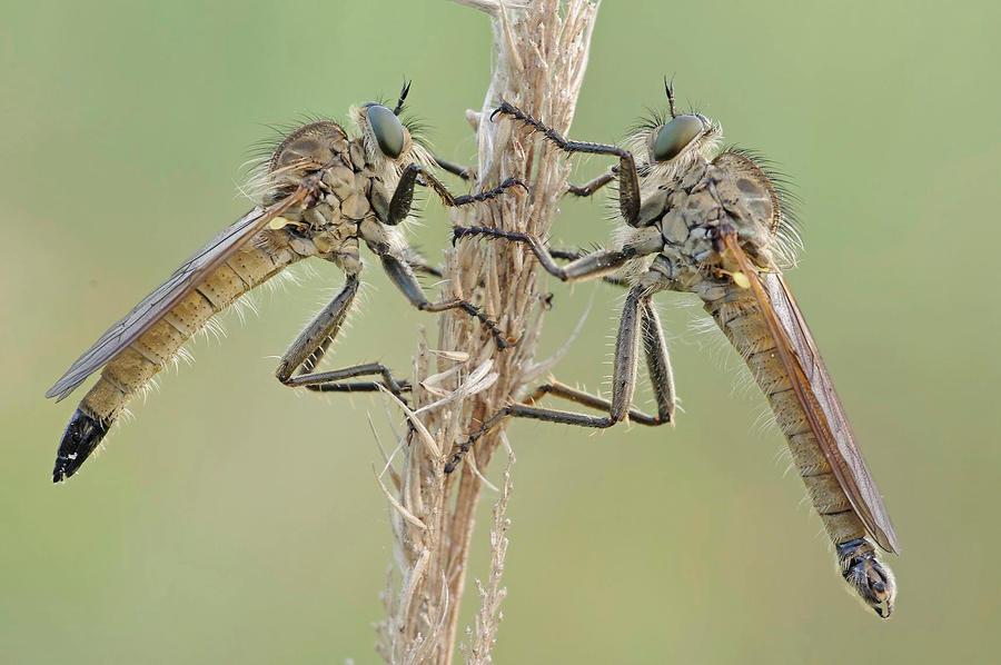 robberflies by hippiska