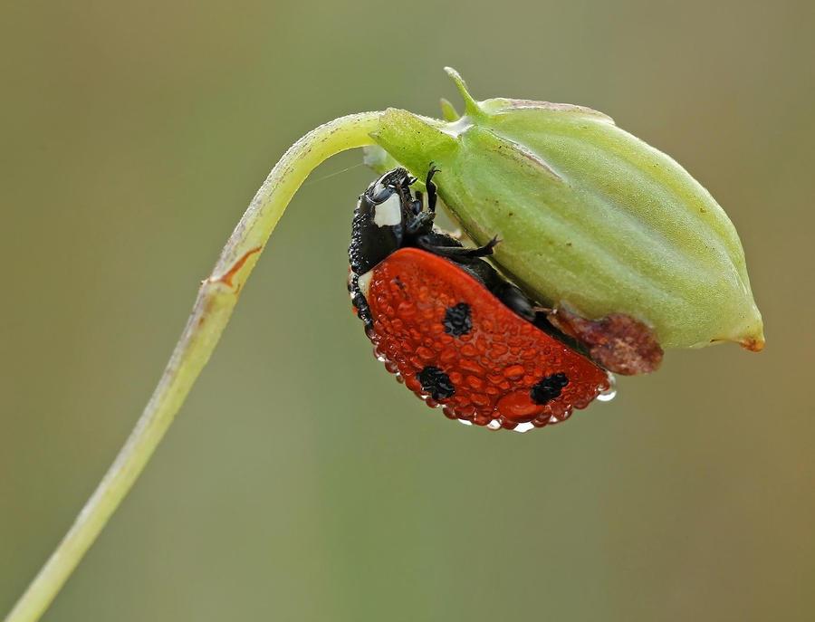 ladybug by hippiska