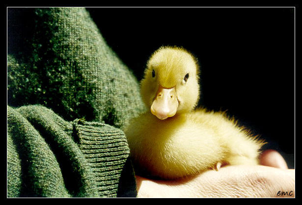 duck by curan