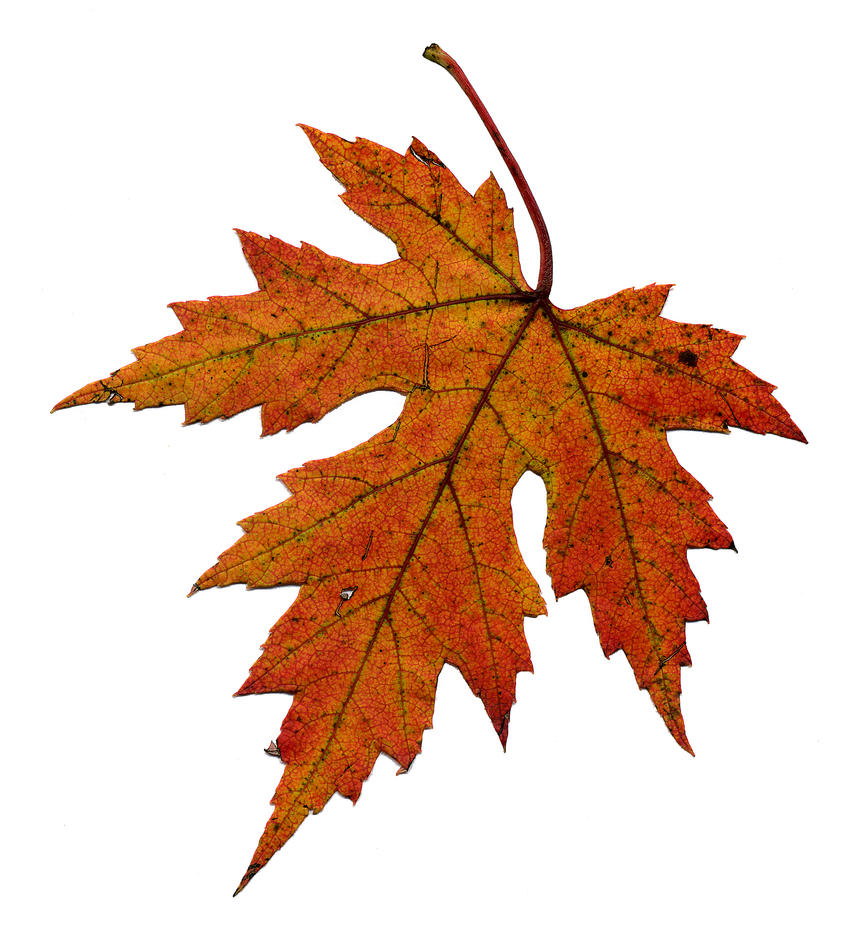 Maple leaf by marbrure on DeviantArt