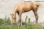 Quarter Horse filly stock 2