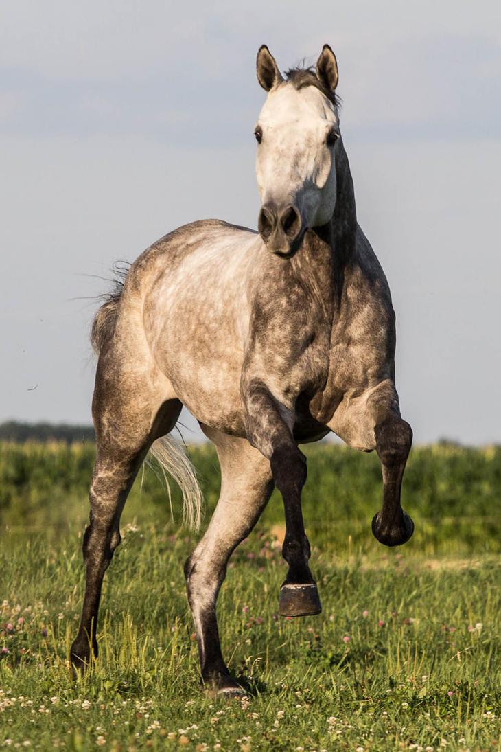 Quarter Horse stock 9 - gray leap by Skunktail17 on DeviantArt