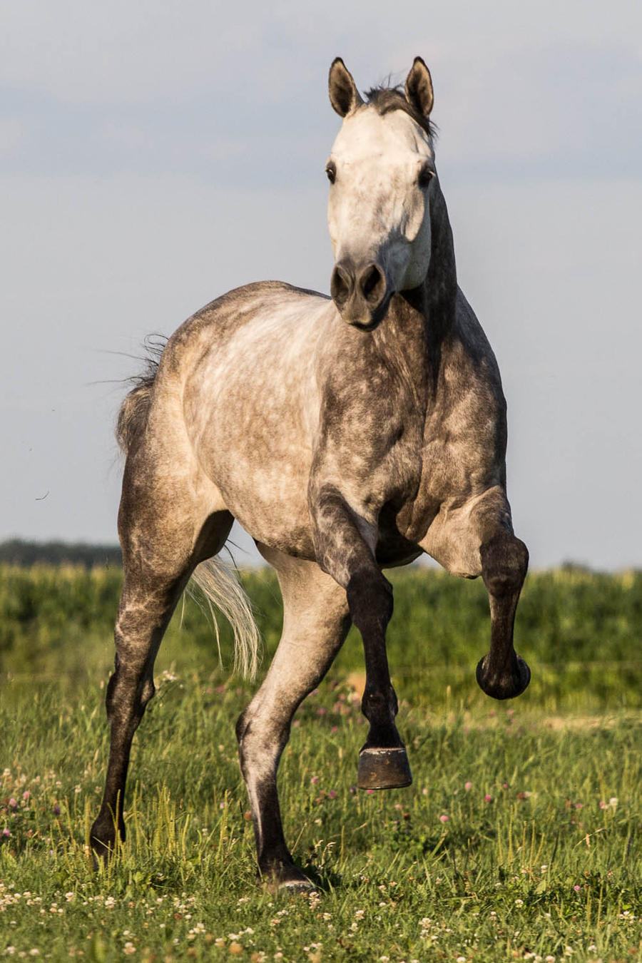 Loomade tutvustused (pildid)  Quarter_horse_stock_9___gray_leap_by_skunktail17-d56rtz1