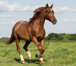 Quarter Horse stock 6 - rabicano
